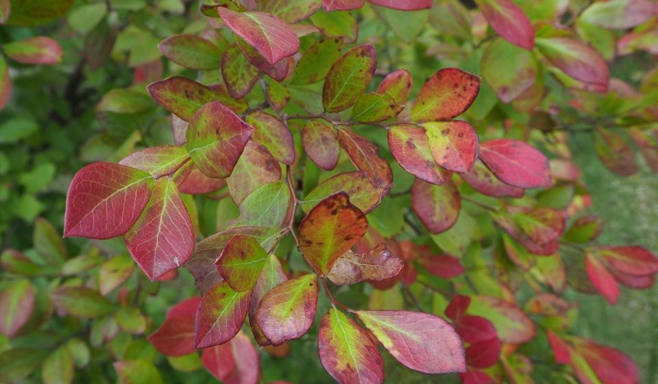 sparkleberry (Vaccinium arboreum)