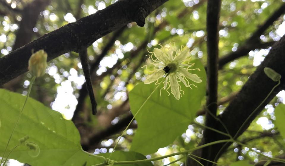 yellow passionflower (Passiflora lutea)